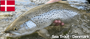 Sea Trout Denmark