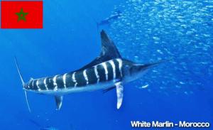 White Marlin Morocco