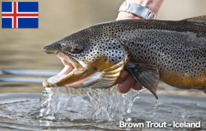 Trout Iceland