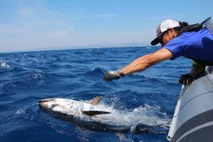 La délivrance est proche pour le thon et pour le pêcheur